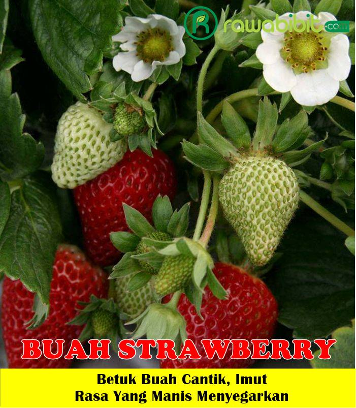 Buah Strawberry Unggul