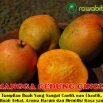 Bibit Mangga Gedong Gincu