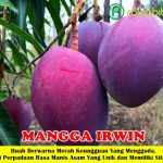 Bibit Mangga Irwin