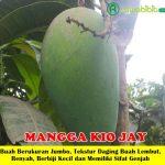 Bibit Mangga Kio Jay