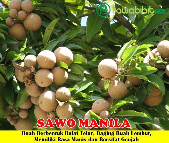 Sawo Manila