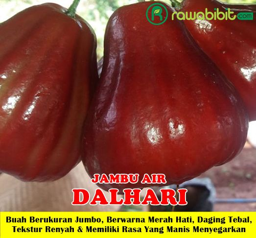 Jambu Air Dalhari Unggul