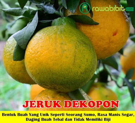 Jeruk Dekopon Unggul