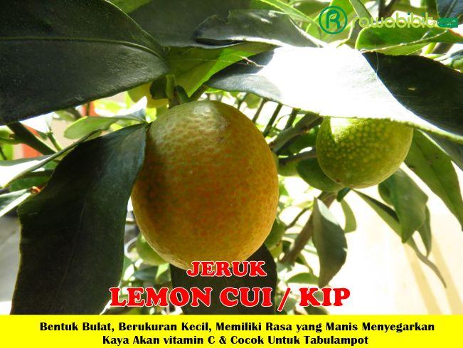 Jeruk Lemon Cui Unggul