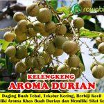Bibit Lengkeng Aroma Durian