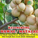 Bibit Lengkeng Hawae / Matalada