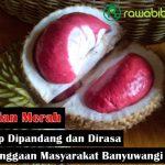 Durian Merah, Durian Lokal Unggulan Yang Sedap Dipandang dan Mempunyai Rasa Yang Unik Kebanggaan Masyarakat Banyuwangi
