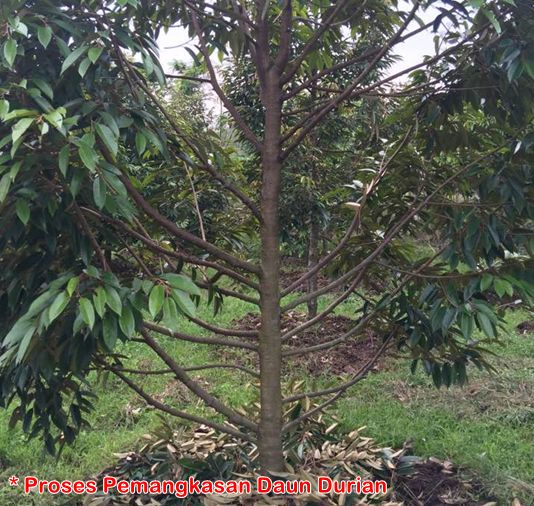 Pemangkasan daun durian