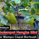 6 Cara Mudah Bertanam dan Merawat Nangka Mini Di Dalam Pot Agar Mampu Berbuah Dengan Cepat