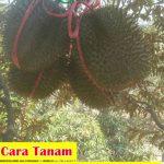5 Cara Menanam Durian D24 Dengan Benar Agar Tumbuh Subur Dan Mampu Berbuah Dengan Lebat