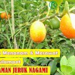 5 Cara Menanam dan Merawat Jeruk Nagami Dalam Pot Agar Mampu Berbuah Lebat