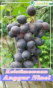 Anggur Ninel