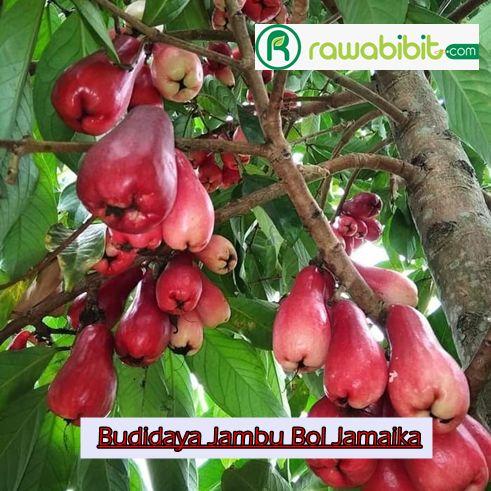RawaBibit.com